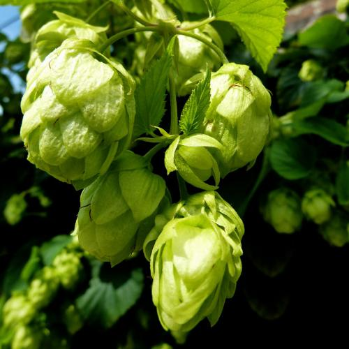 'Tradition' - Aromahopfen