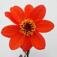 Dahlia variabilis - Dahlie 'Bishop's Children'